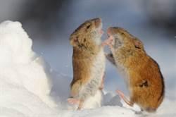兩隻巨鼠起衝突!學人站立「揮拳格鬥」…貓咪一旁看傻