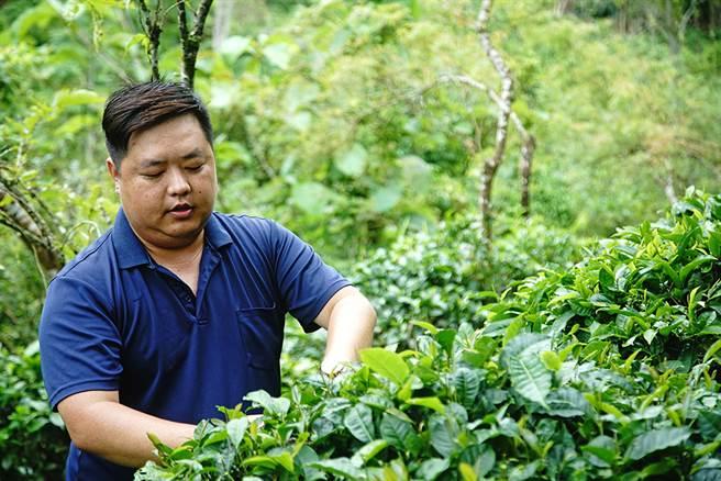 詹帛勳出身茶農世家,美濃龍肚已有六代人製茶。(攝影/曾信耀)