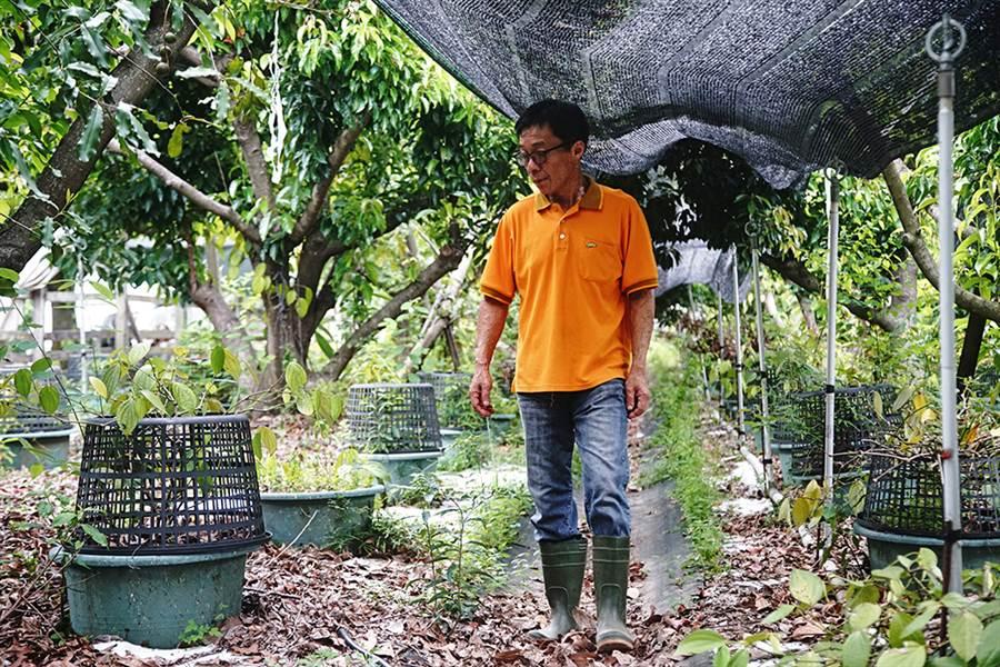 山胡椒園第二代陳裕隆對農場每株植物瞭若指掌。(攝影/曾信耀)