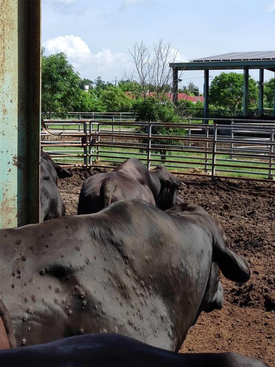 金門今再發現2病牛,已連帶撲殺10頭牛隻。(農委會提供/李柏澔台北傳真)