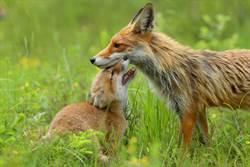 狐狸家族天天來人類後院爽玩 2分鐘影片掀網暴動