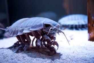 影》大到嚇死人!50公分超巨型海蟑螂現蹤