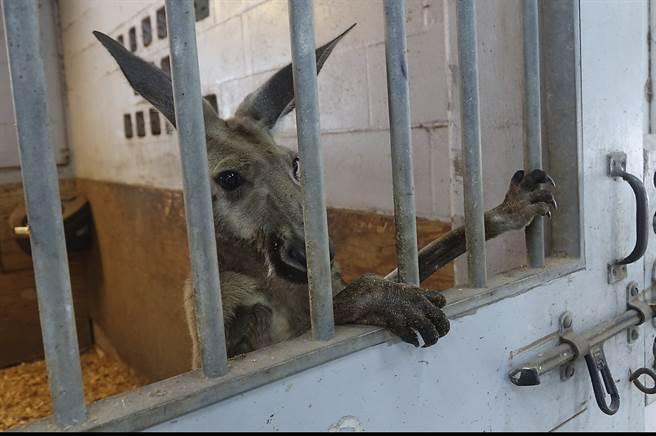 袋鼠爽逛大街被捕入獄 下場悲慘牠淚灑牢房