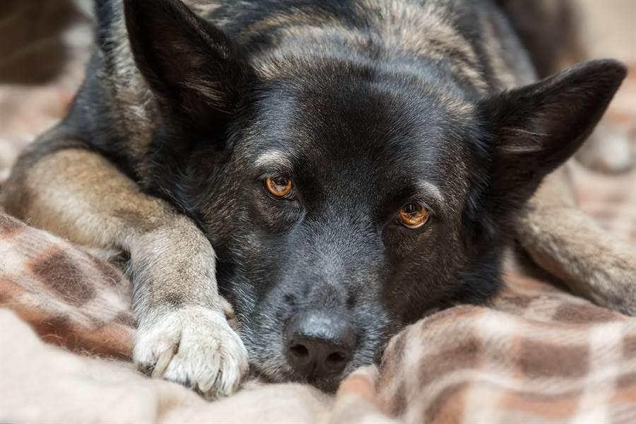 凌晨見愛犬「頭破血流」秒嚇醒 結局反轉飼主哭笑不得(示意圖/達志影像)