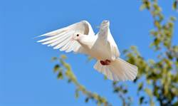 白鴿天空翱翔突展翅「定格」 路人見奇景全傻眼