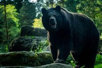 200公斤野生巨熊闖家 一掌劈中勇父腦門:我聽到頭骨碎裂…
