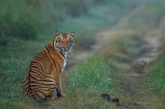 小黃司機開山路遇野生猛虎 對看20分鐘嚇出冷汗