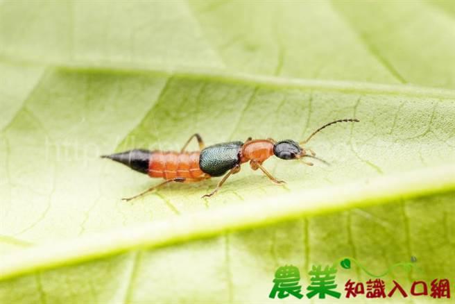 隱翅蟲長得纖細微小,但身體裡的毒液卻是強酸,若沾到會腐蝕皮膚應立即就醫,否則有可能將留下難以回復的疤痕。(摘自農業知識入口網/謝瓊雲彰化傳真)