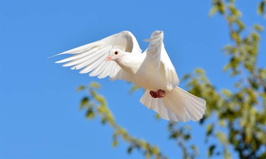 白鴿天空翱翔突展翅「定格」 路人見奇景全傻眼(示意圖/達志影像)