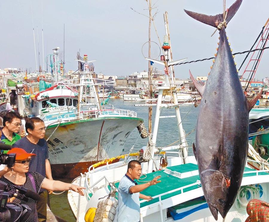 屏東縣黑鮪季結束,今年漁獲量創12年來新高,整體交易額也增加,但每公斤價格卻只有去年的3分之2。(潘建志攝)