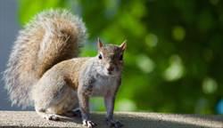 高溫破百年紀錄 松鼠竟反常靠近人「拜託拜託」求救