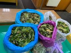 防治荔枝椿象收購產卵葉片 台中有抓蟲高手大賺20萬元