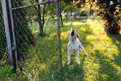 狂學愛犬嗷嗚叫 狗困惑聽二重奏下秒主人糗爆