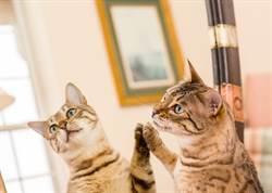 呆萌灰貓初次見耳朵超困惑 抬爪瘋狂確認網笑翻