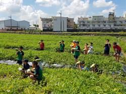 新市區農會邀學童體驗採瓜樂 白肉西瓜搶眼