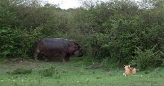 獅子吵醒午睡中的河馬 下秒竟慘遭爆頭