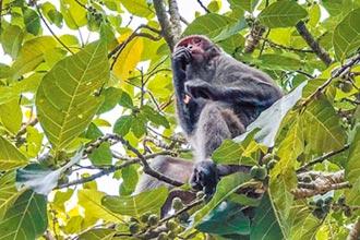 鞭炮嚇不走 尖石水蜜桃遭猴害
