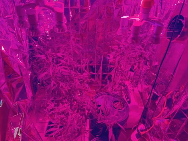 黃姓男子自種大麻,遭海山警分局查獲。(王揚傑翻攝)