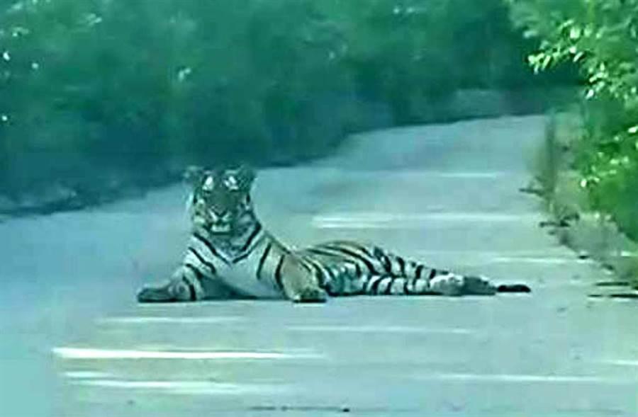 大陸吉林省一台計程車載客上山,赫然遇到一隻東北虎優雅地躺在馬路正中央,展開一場「人虎對峙」驚魂記。(微博照片)