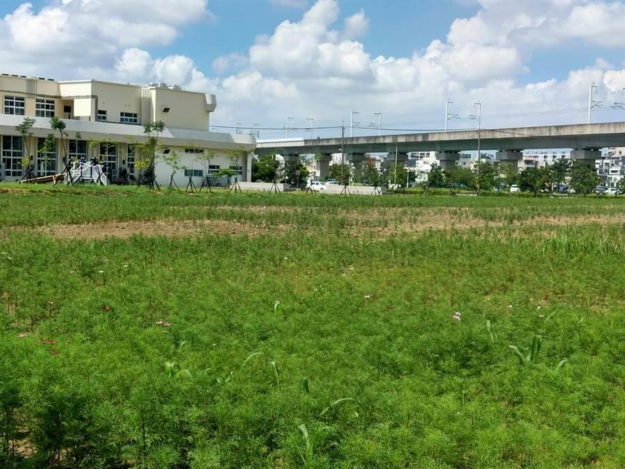 新市區公所在三里活動中心後方約0.8公頃土地種植波斯菊,期待下月花開成花海。(莊曜聰攝)