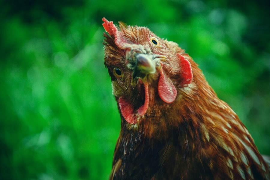 1名社員在自家宮廟的香爐內,發現1隻沾滿香灰的母雞,推測可能前世被裹粉下油鍋做成雞排記憶還在。(示意圖/達志影像/Shutterstock提供)