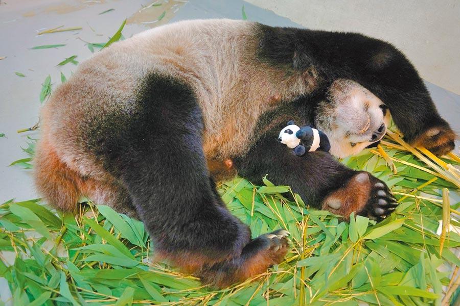 台北市立動物園為讓大貓熊媽媽「圓圓」習慣身邊有寶寶存在,製作「仿仔」給「圓圓」照顧。(台北市立動物園提供/張薷台北傳真)