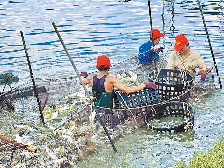 家樂福契作的台南官田魚塭每天捕撈新鮮的虱目魚。(郭家崴攝)