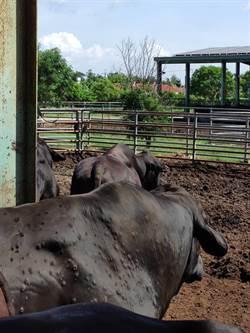 金門新增4例牛結節疹疑似案例  農委會:明全面施打疫苗