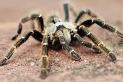 拍到罕見毛蜘蛛交配 1分鐘過程網嚇出冷汗