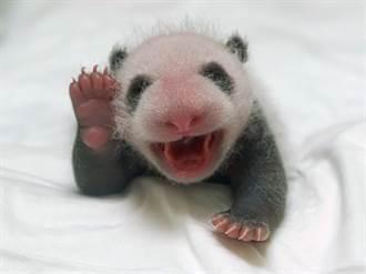 貓熊寶寶個性像爸爸 乳名「柔柔」