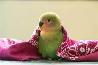 鸚鵡一見水瓶就「搖頭晃腦」 原因曝光眾人笑噴