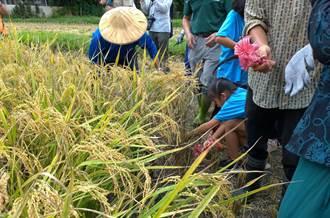 金黃稻穗又來到 雙溪小農夫來割稻