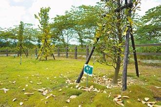 打破傳統 嘉市3個月42先人樹葬