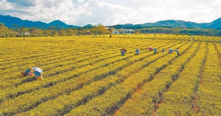 海南白沙黎族自治縣的有機茶園。(圖/新華社資料照片)