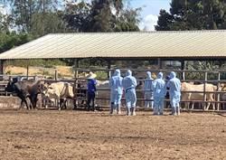 金門爆牛結節疹疫情 今起連5天開打疫苗