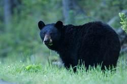 才熊抱登山妹…「不速鬼」黑熊又狂嗅妹子美尻50秒