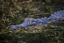 驚險!母子闖鱷魚池撿包包 慘遭10多隻鱷魚包圍