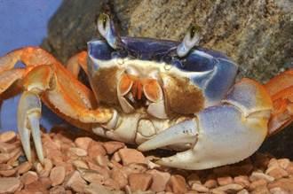 螃蟹水缸裡集體游泳 逗趣畫面像打電動