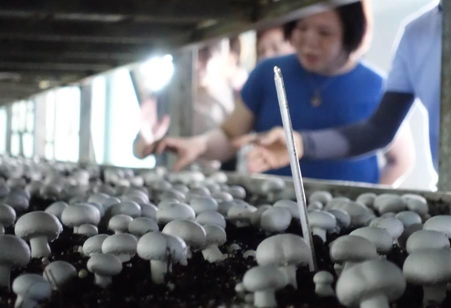 周昭陽堅持不用化學藥劑,種出友善無毒的洋菇。(許素惠攝)