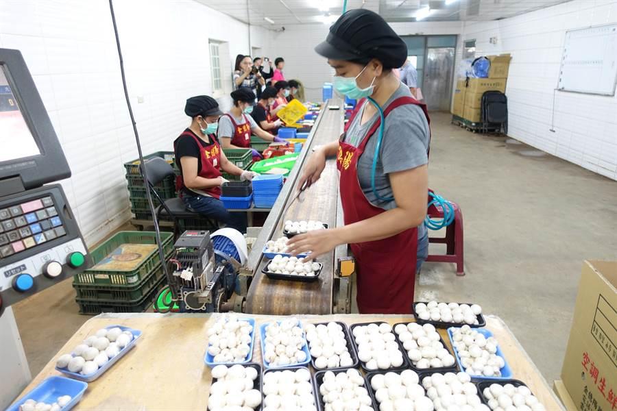 金億陽洋菇農場的洋菇穩定供貨給全聯、家樂福等賣場。(許素惠攝)