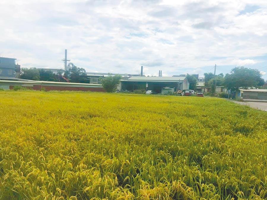 有農民反映二期稻作水源不足希望增加放水量。(呂筱蟬攝)
