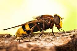 嬤不小心驚動蜂巢!滿滿黃蜂暴衝…孫慘被叮死