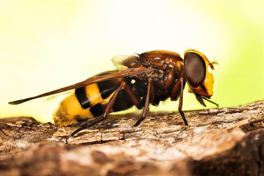 嬤不小心驚動蜂巢!滿滿黃蜂暴衝…孫慘被叮死(示意圖/達志影像)