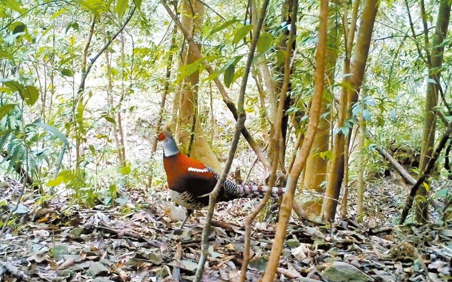 江西九嶺山保護區再次監測到白頸長尾雉。(圖:許南平)