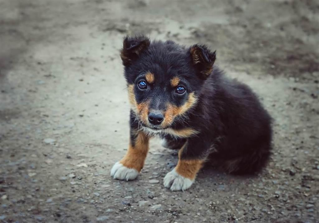 德國狼犬Tiger因患有侏儒症,不僅健康有問題,性格有較具攻擊性(示意圖/達志影像)