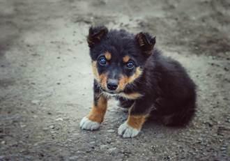 成年德國狼犬體型卻像柯基 路人想摸急被阻止:很危險