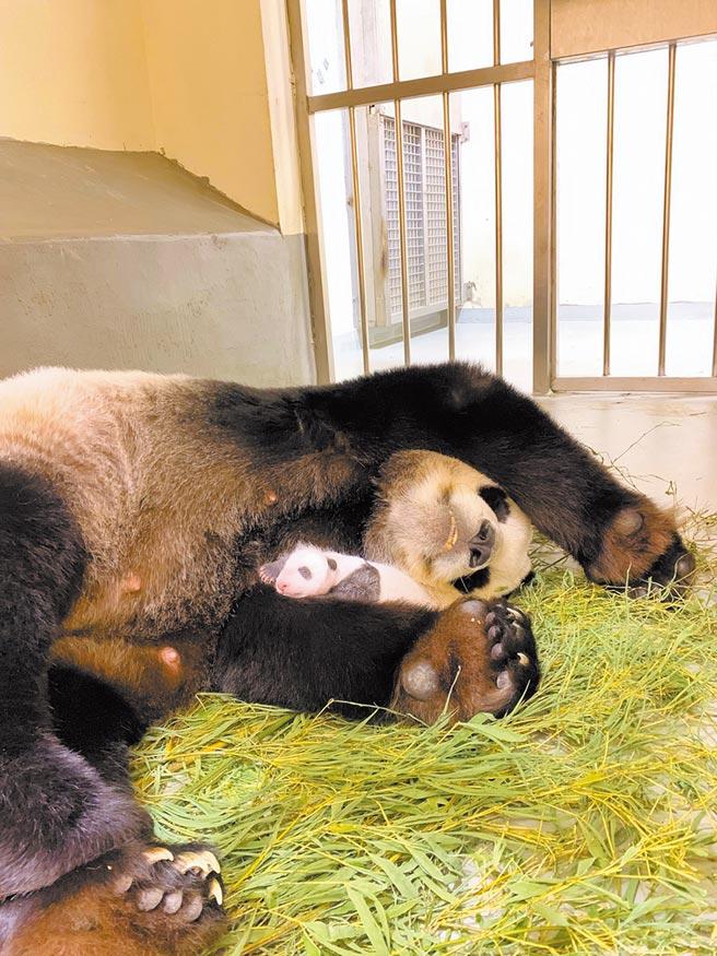 動物園裡的大貓熊圓圓第2次當媽媽,護子行為非常強烈,找回育兒手感。(台北市立動物園提供/游念育台北傳真)