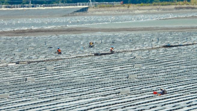彰濱工業區潮間帶崙尾東區潮間帶生態豐富,卻全鋪設太陽能板,彰化環保聯盟憂心破壞生態。(彰化縣環保聯盟提供/吳敏菁彰化傳真)