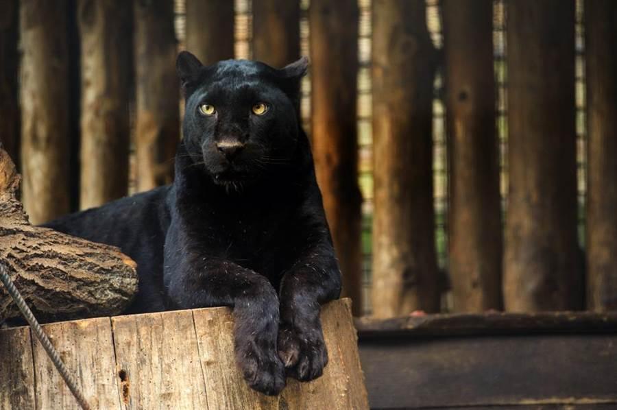黑豹帶著妻子現蹤,畫面相當罕見(示意圖/達志影像)