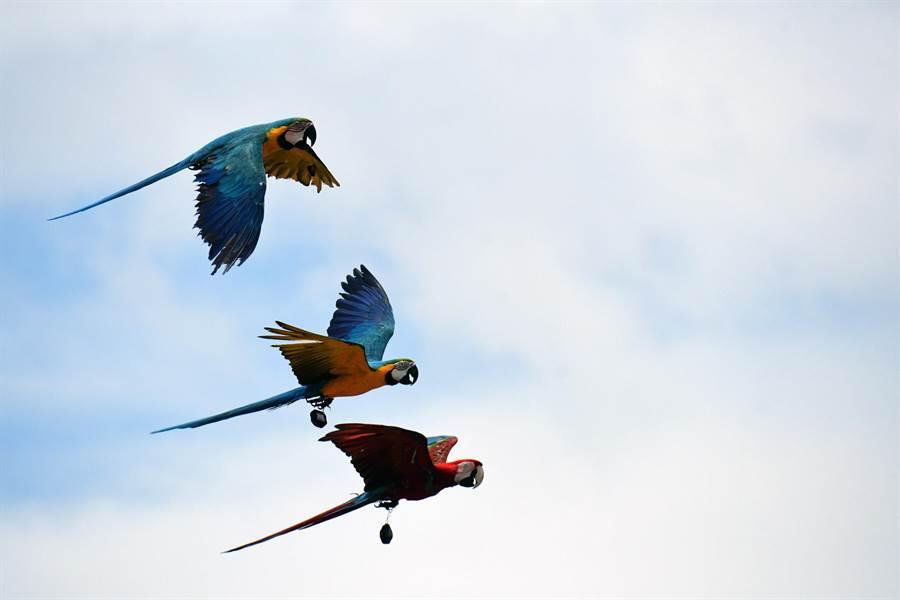 後疫情時期,近百隻金剛鸚鵡在台東國際地標放飛,場面壯觀。(莊哲權攝)